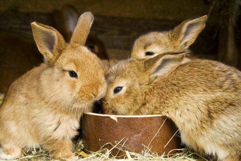 comment déterminer le sexe d'un lapin