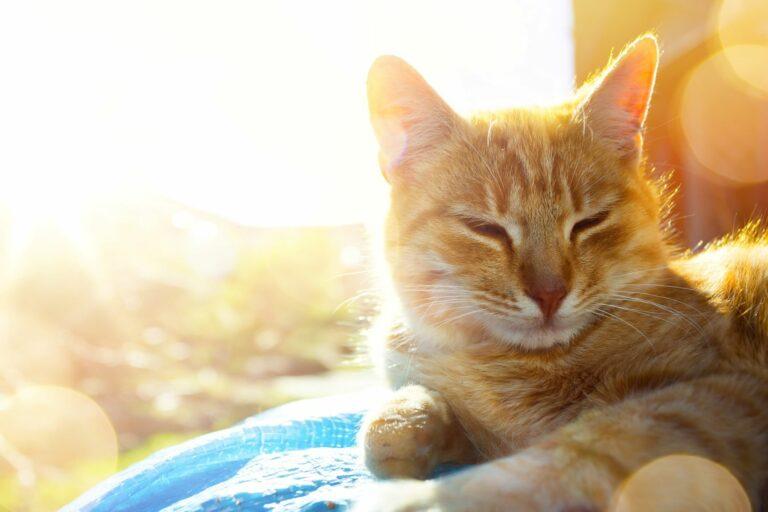 chat coup de chaleur
