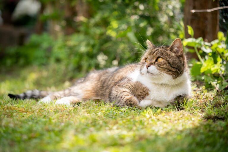 coup de chaleur chez le chat