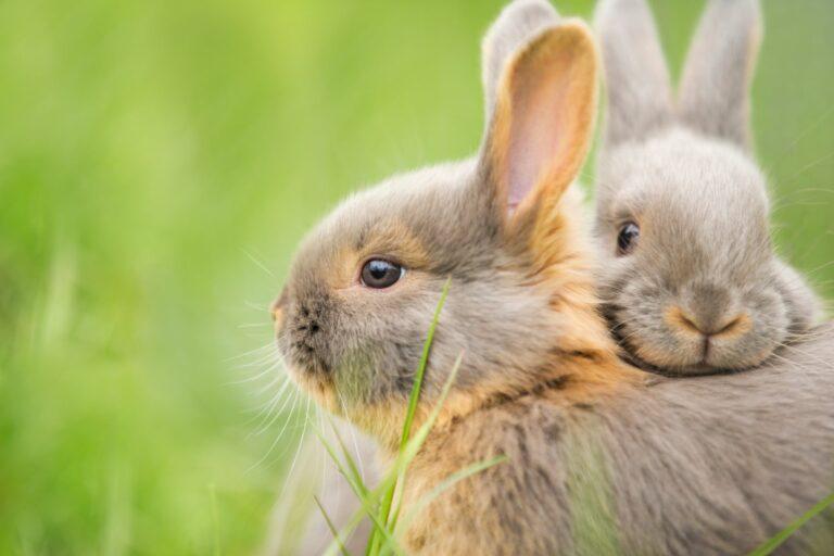 Lièvre ou lapin : comment faire la différence ?