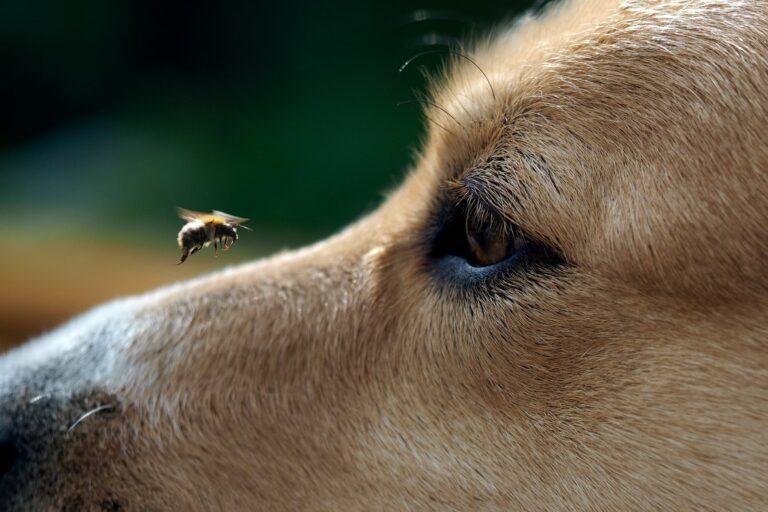 piqûre abeille chien