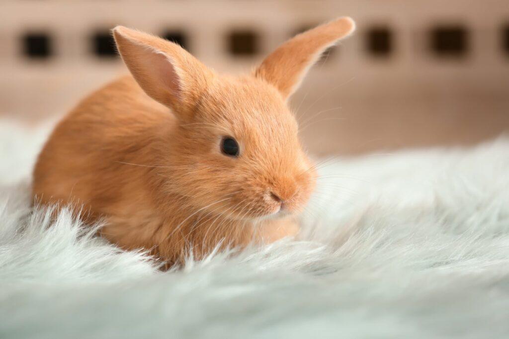 Jeune lapin