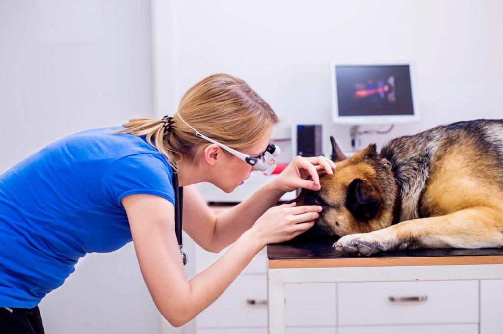 Une vétérinaire examine les yeux d'un chien aveugle