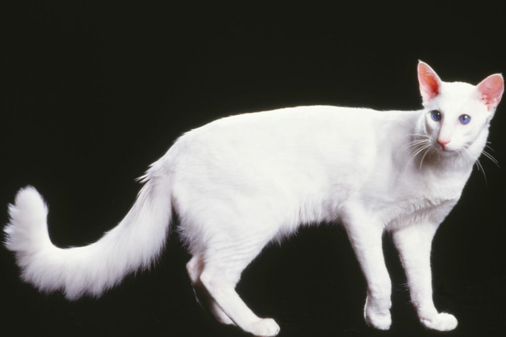 Un chat javanais blanc