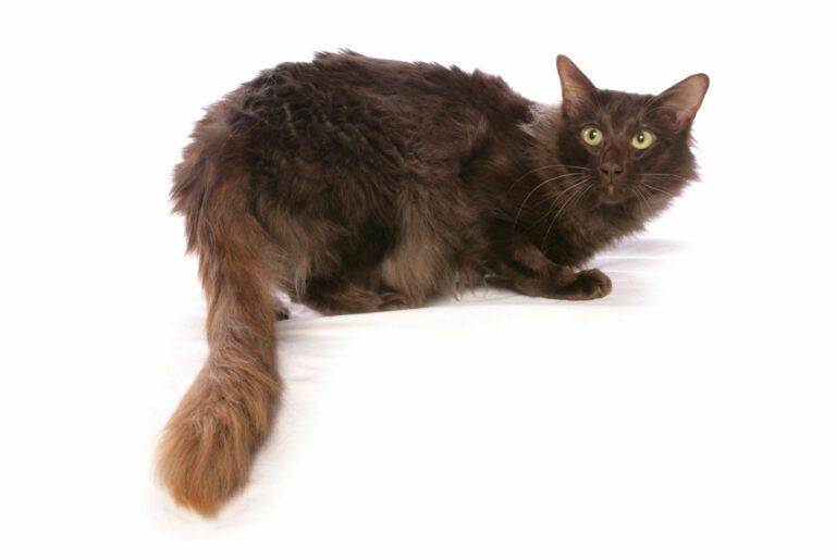 Chat javanais noir