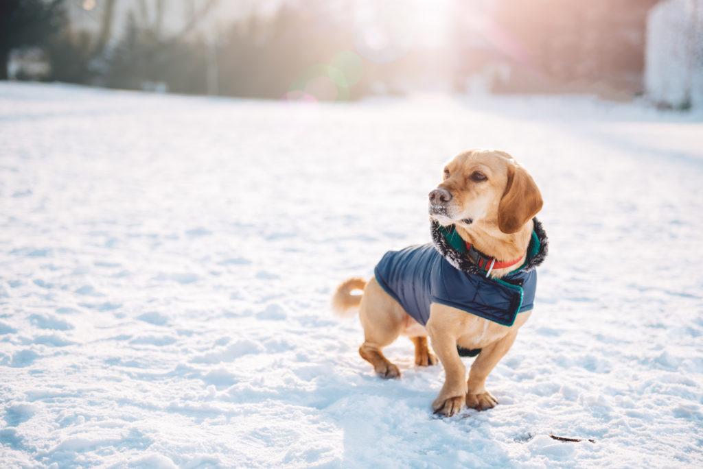chien dans le froid avec un manteau