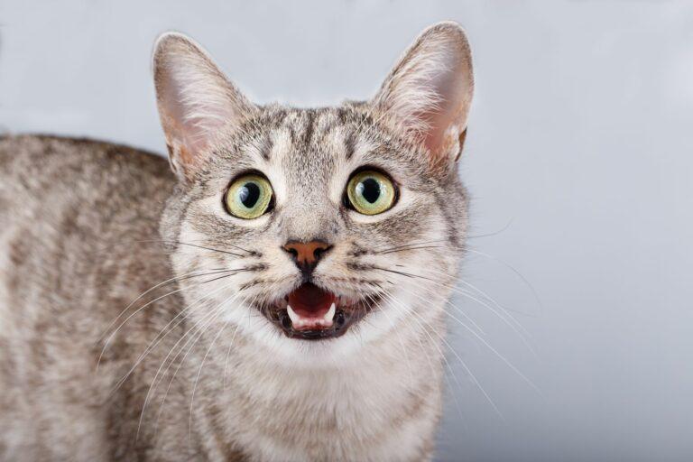 Un chat émet des miaulements