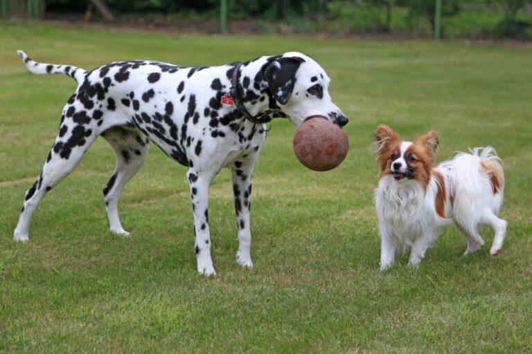 deux chiens jouent ensemble